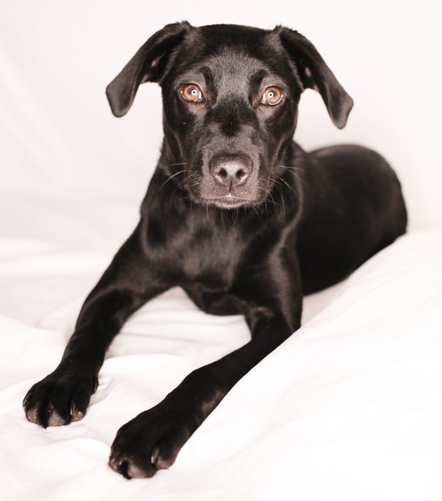 7 month old, black Labrador puppy looking at camera, laying on white bedding with white background.